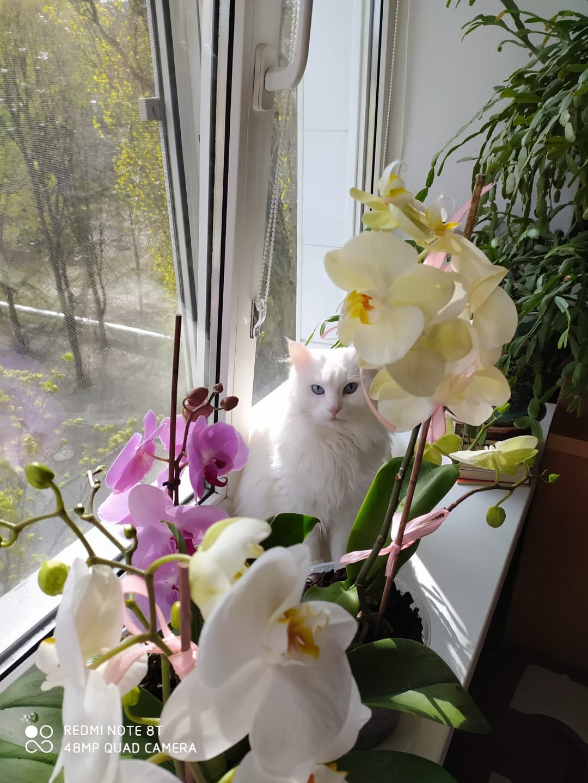 Голубоглазый красавчик теперь в семье / фото предоставила нам новая хозяйка кота