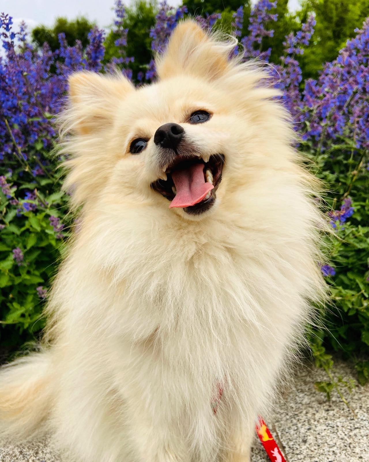В Днепре пропал шпиц / фото: fb База потерянных и найденных домашних животных ДНЕПР