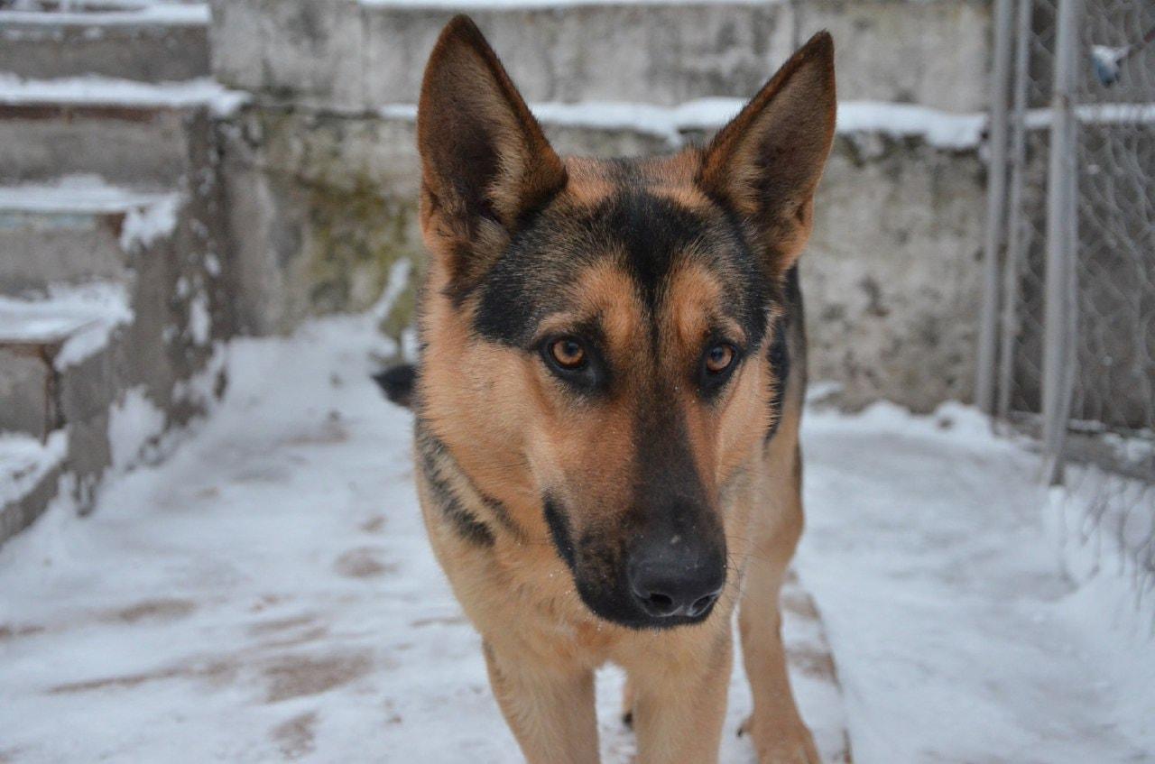 Сбежала овчарка в Днепре / фото: fb База потерянных и найденных домашних животных ДНЕПР