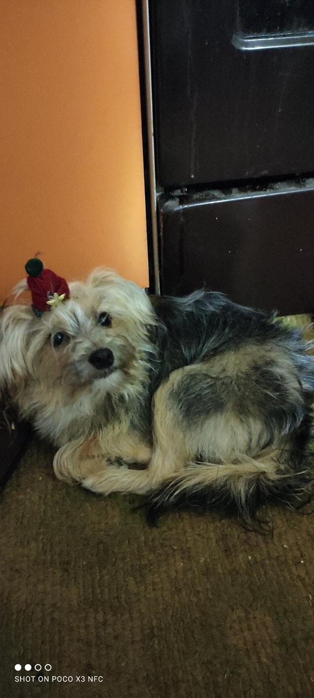 Пропал йорк в Днепре / фото: fb База потерянных и найденных домашних животных ДНЕПР